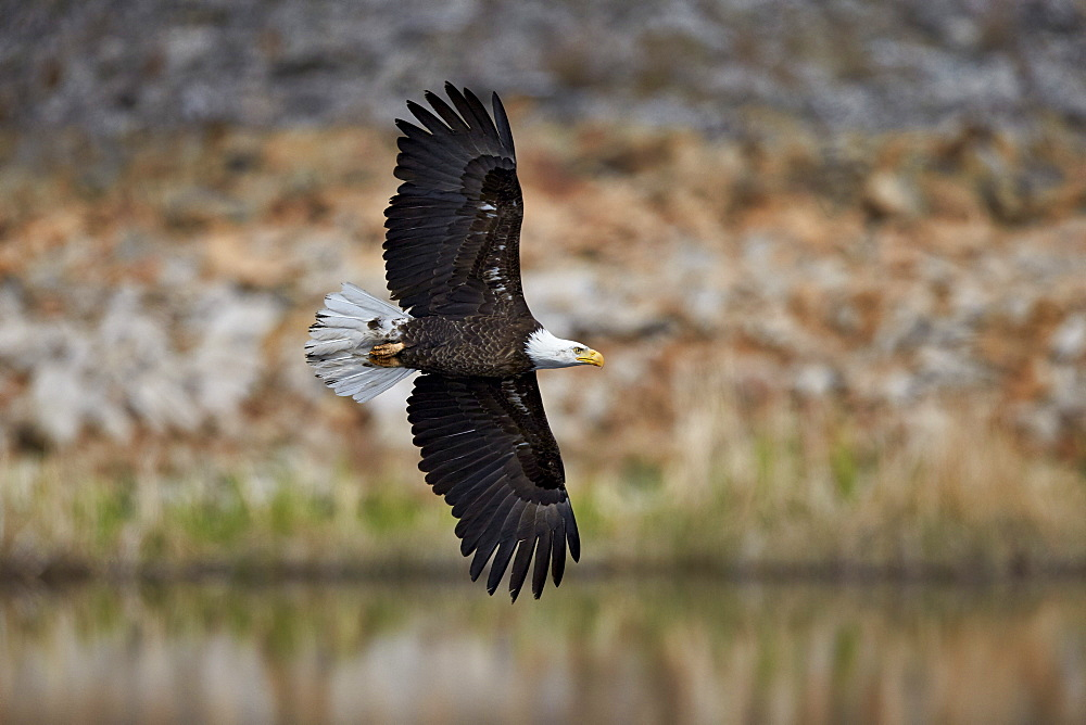 Bald Eagle (Haliaeetus leucocephalus) in flight, Yellowstone National Park, UNESCO World Heritage Site, Wyoming, United States of America, North America
