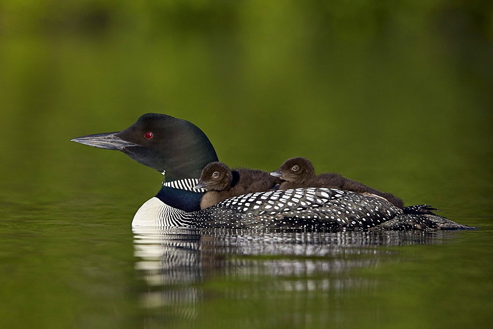 Common Loon (Gavia immer) chicks riding on their mother's back, Lac Le Jeune Provincial Park, British Columbia, Canada, North America