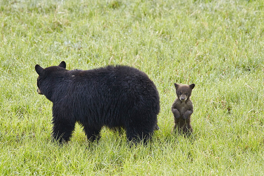 Black Bear (Ursus americanus) sow and a chocolate cub of the year or spring cub, Yellowstone National Park, Wyoming, United States of America, North America