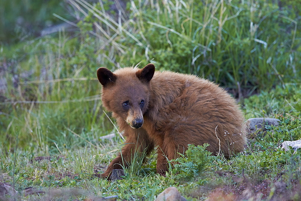 Black Bear (Ursus americanus), cinnamon yearling cub, Yellowstone National Park, Wyoming, United States of America, North America