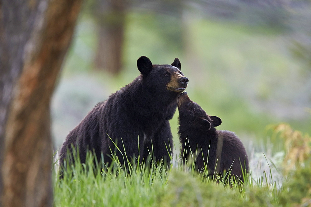 Black Bear (Ursus americanus), sow and yearling cub, Yellowstone National Park, Wyoming, United States of America, North America