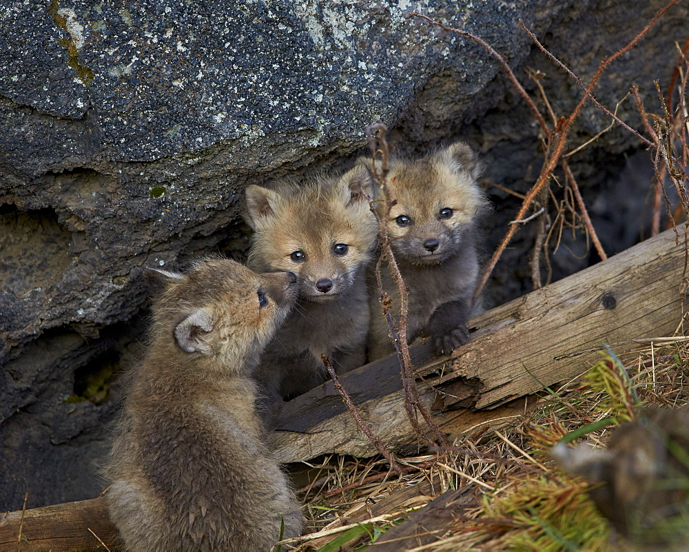Red Fox (Vulpes vulpes or Vulpes fulva) kits, Yellowstone National Park, Wyoming, United States of America, North America
