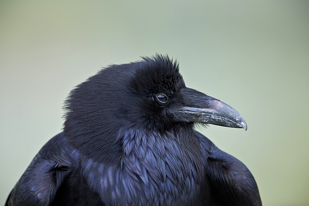 Common Raven (Corvus corax), Yellowstone National Park, Wyoming, United States of America, North America