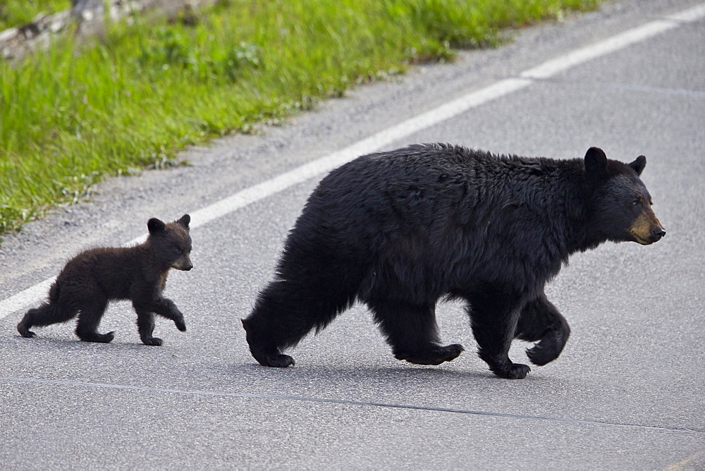 Black Bear (Ursus americanus) sow and cub-of-the-year crossing the road, Yellowstone National Park, Wyoming, United States of America, North America