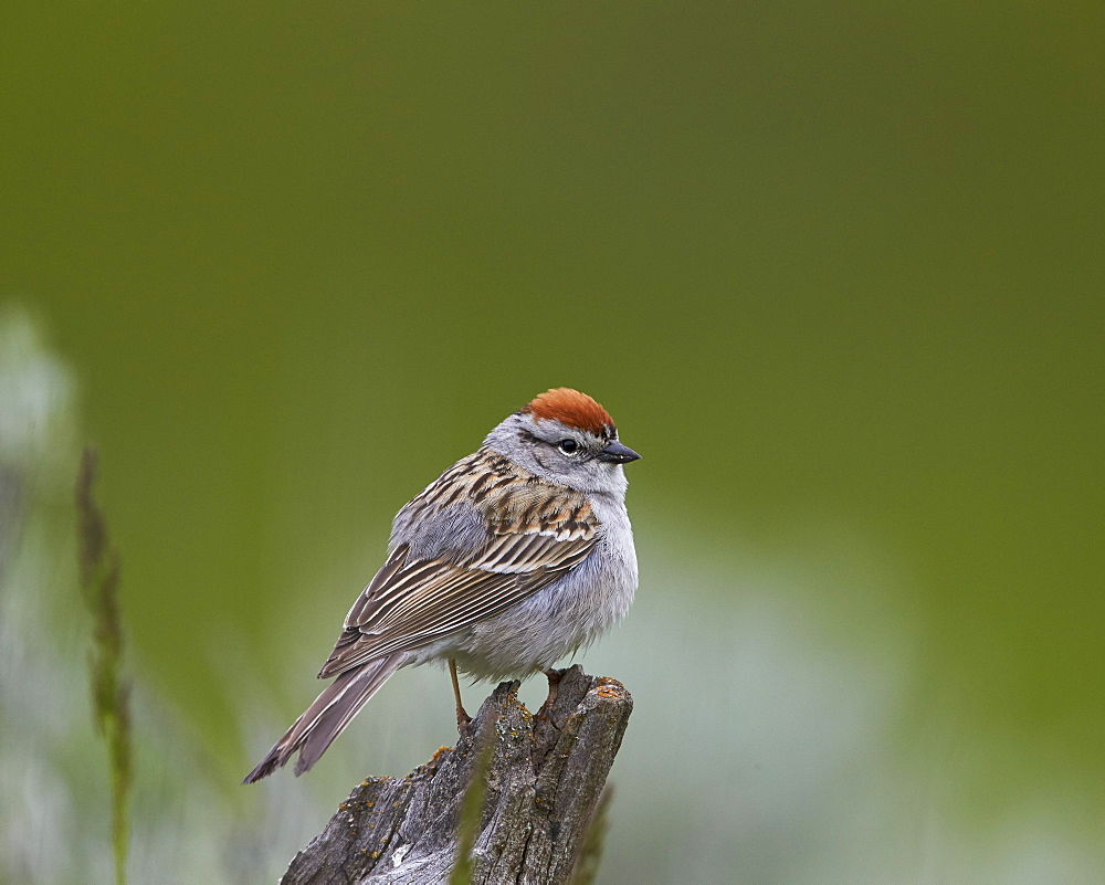 American Tree Sparrow (Spizella arborea), Yellowstone National Park, Wyoming, United States of America, North America