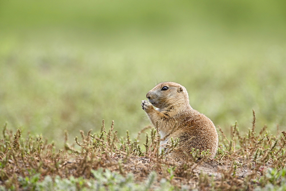 Baby blacktail prairie dog (Cynomys ludovicianus), Custer State Park, South Dakota, United States of America, North America
