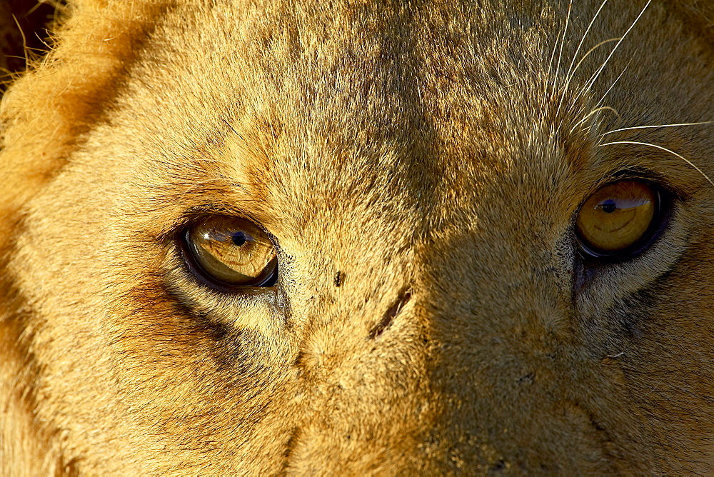 Male lion (Panthera leo) face, Masai Mara National Reserve, Kenya, East Africa, Africa - 764-724