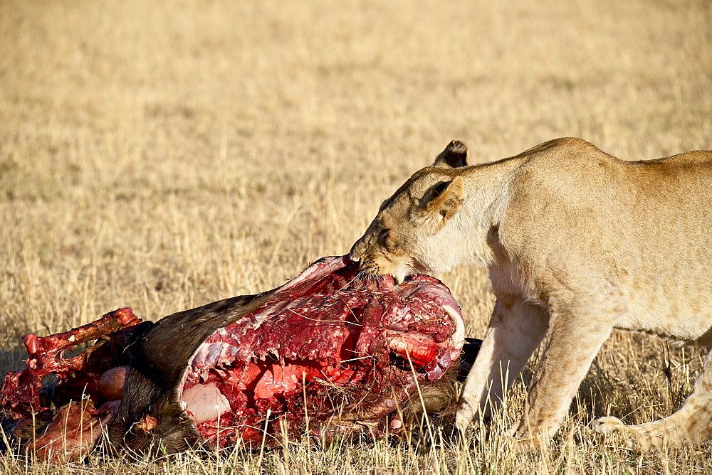 Lion (Panthera leo) eating a wildebeest, Masai Mara National Reserve, Kenya, East Africa, Africa