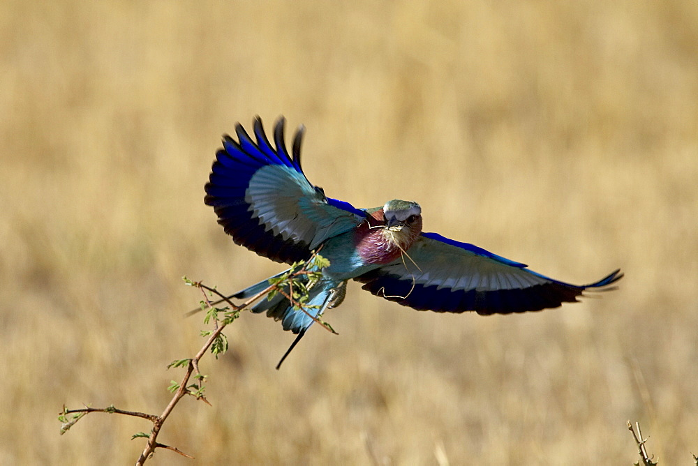 Lilac-breasted roller (Coracias caudata) landing with a grasshopper in its beak, Masai Mara National Reserve, Kenya, East Africa, Africa