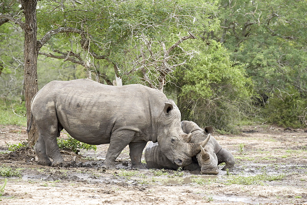 Two white rhinoceros (Ceratotherium simum) rubbing noses, Imfolozi Game Reserve, South Africa, Africa