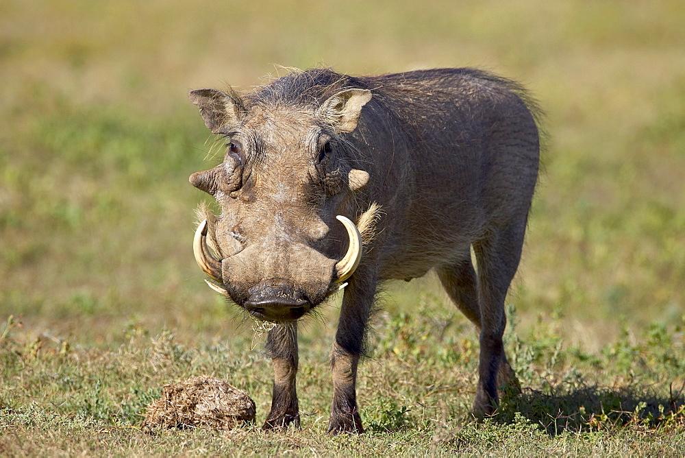 Warthog (Phacochoerus aethiopicus), Addo Elephant National Park, South Africa, Africa