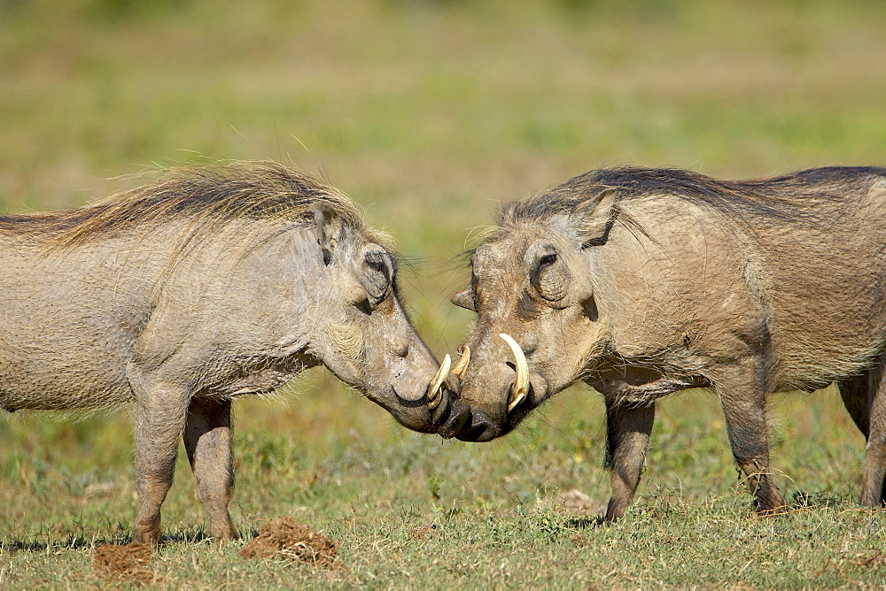 Two warthogs (Phacochoerus aethiopicus), Addo Elephant National Park, South Africa, Africa