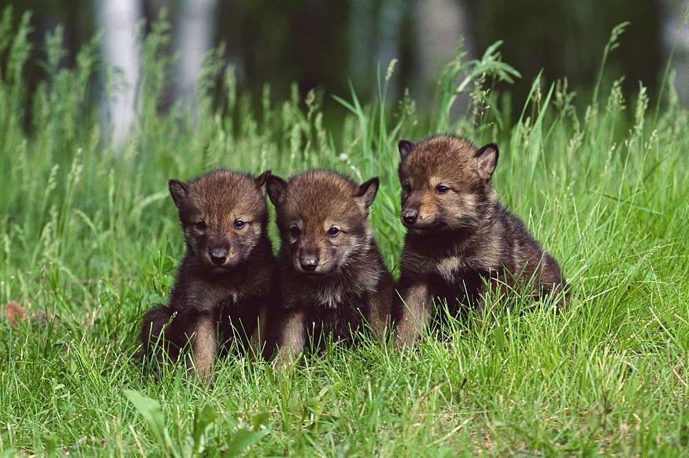 Gray wolf pups (Canis lupus), 27 days old, in captivity, Sandstone, Minnesota, United States of America, North America - 764-96
