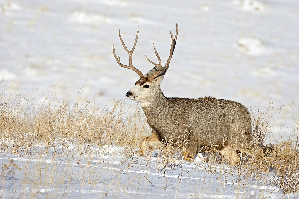 Mule deer (Odocoileus hemionus) buck in snow, Roxborough State Park, Colorado, United States of America, North America