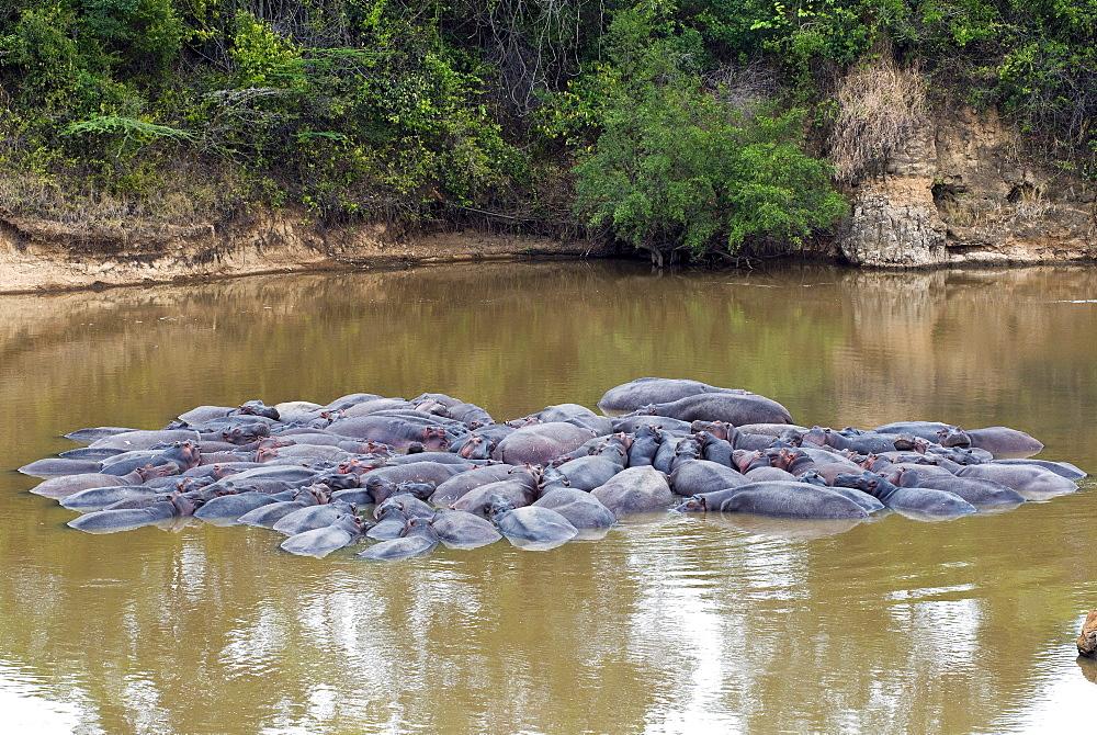 Herd of Hippopotamuses, (Hippopotamus amphibius), Masai Mara National Reserve, Kenya, East Africa, Africa - 765-1209