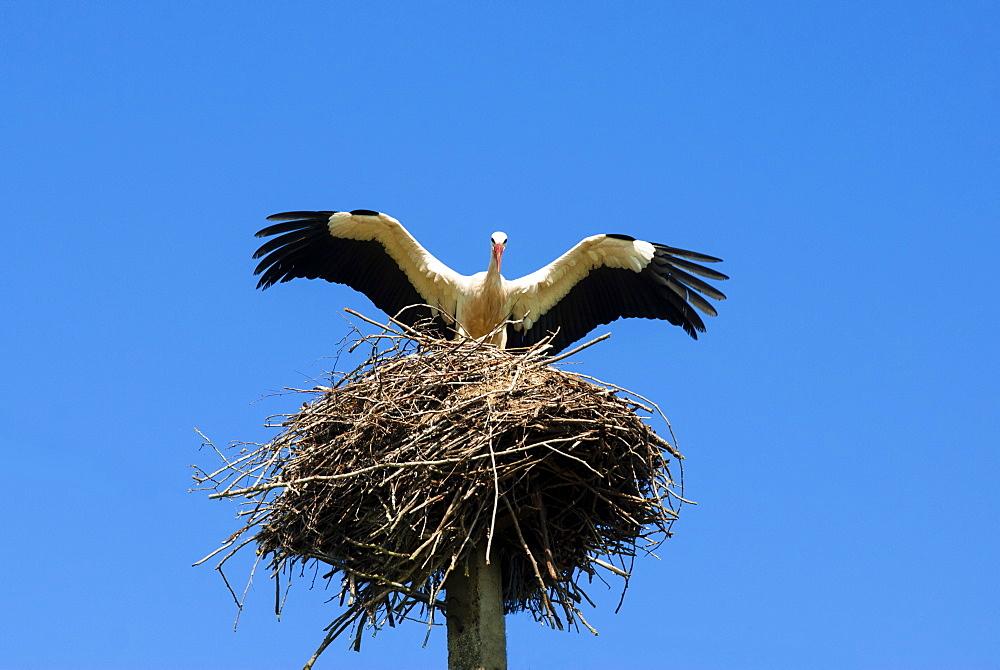 Stork and nest (Ciconia ciconia), Varska, Estonia, Baltic States, Europe