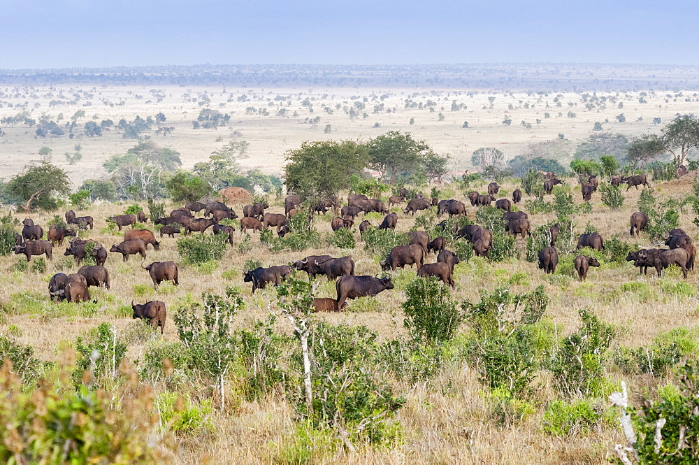 Herd of African Buffalo (syncerus caffer), Taita Hills Wildlife Sanctuary, Kenya, East Africa