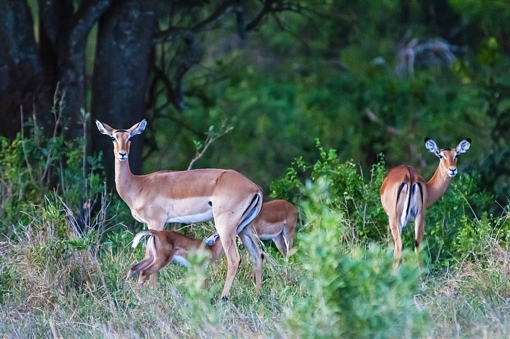 Female impalas, a ewe with calf (Aepyceros melampus), Tsavo East National Park, Kenya, East Africa