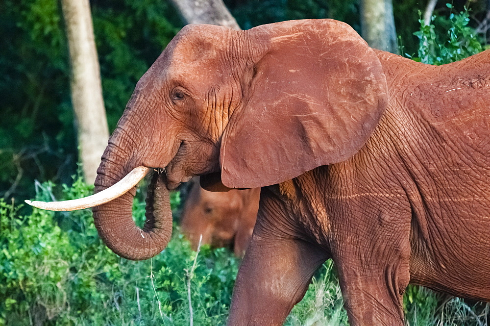Elephant (Loxodonta africana), Tsavo East National Park, Kenya, East Africa, Africa