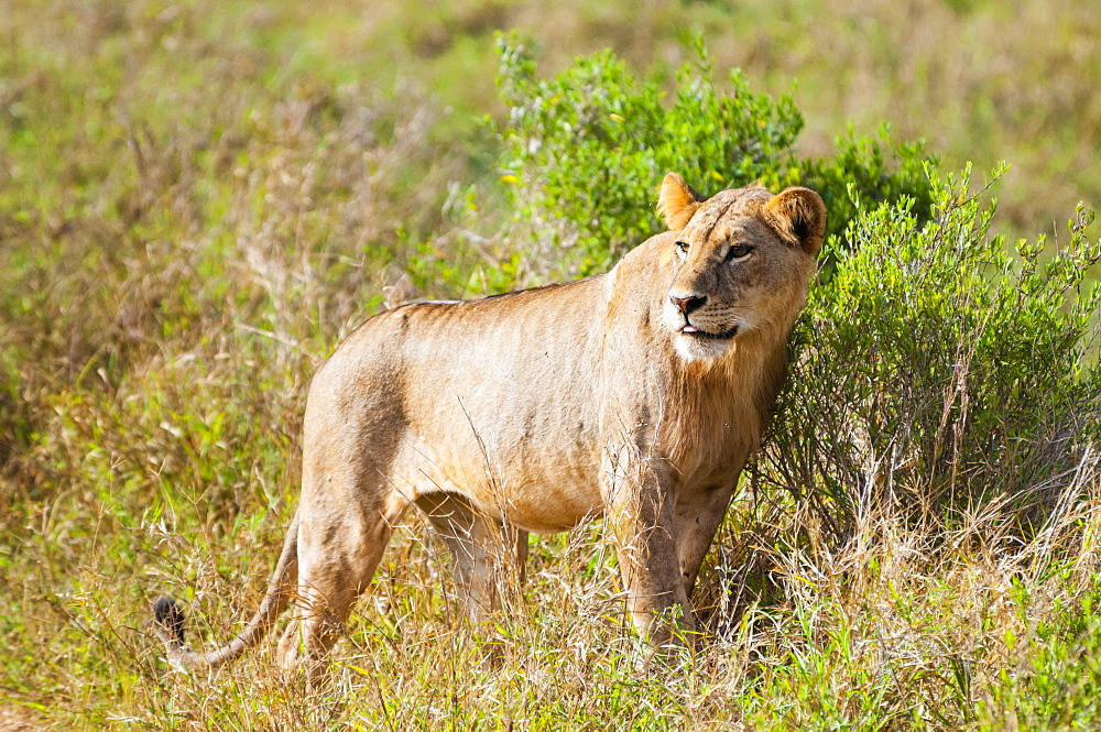 One young male lion (Panthera leo),Tsavo East National Park, Kenya, East Africa