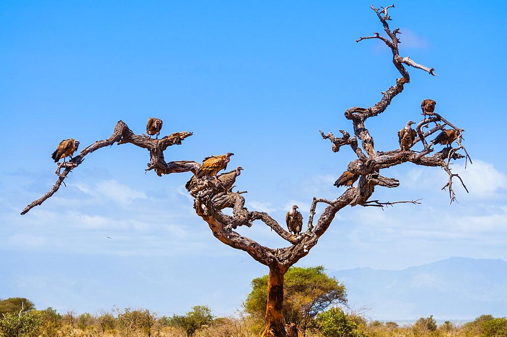 Ruppell's Griffon Vulture (Gyps rueppelli), Tsavo West National Park, Kenya, East Africa, Africa