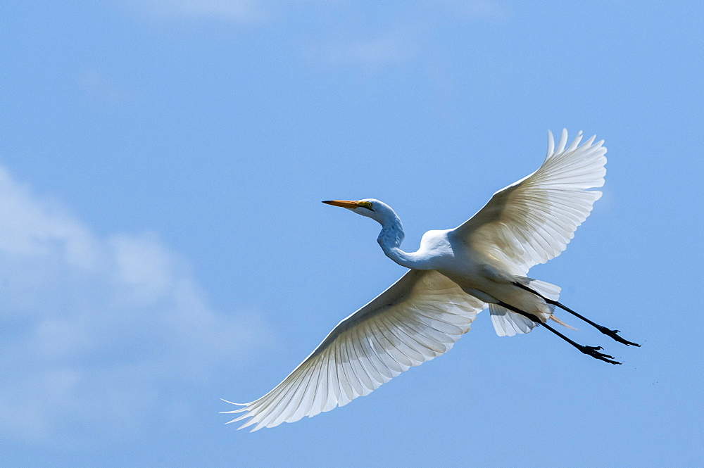 Great egret (Ardea alba) in flight, Lake Jipe, Tsavo West National Park, Kenya, East Africa