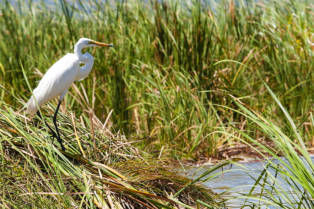 Great egret (Ardea alba), Lake Jipe, Tsavo West National Park, Kenya, East Africa, Africa