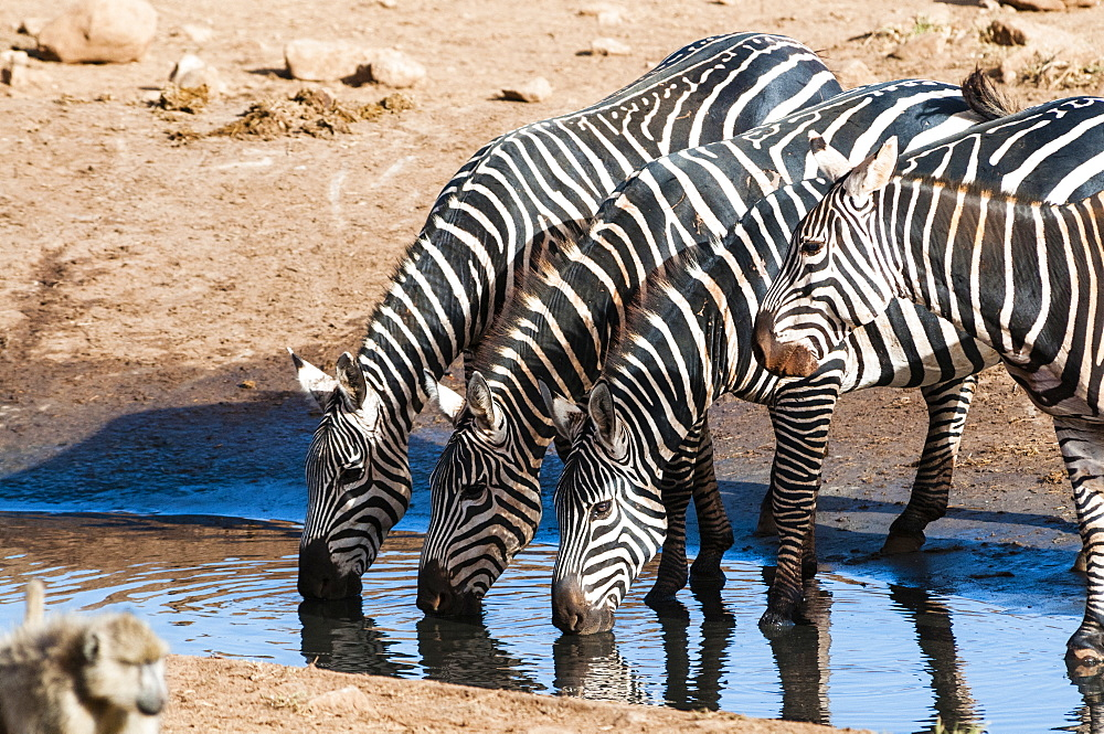 Plains zebras (Equus quagga), drinking in a puddle, Taita Hills Wildlife Sanctuary, Kenya, East Africa