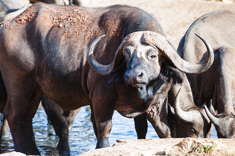 African Buffalo (Syncerus caffer) drinking, Taita Hills Wildlife Sanctuary, Kenya, East Africa, Africa