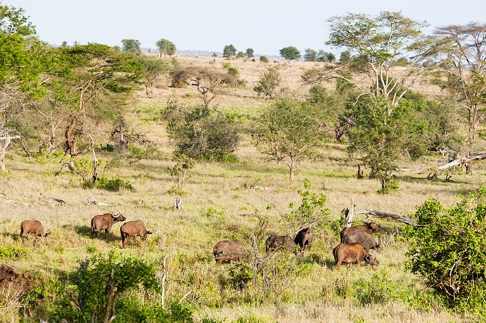 Herd of African Buffaloes (syncerus caffer), Taita Hills Wildlife Sanctuary, Kenya, East Africa