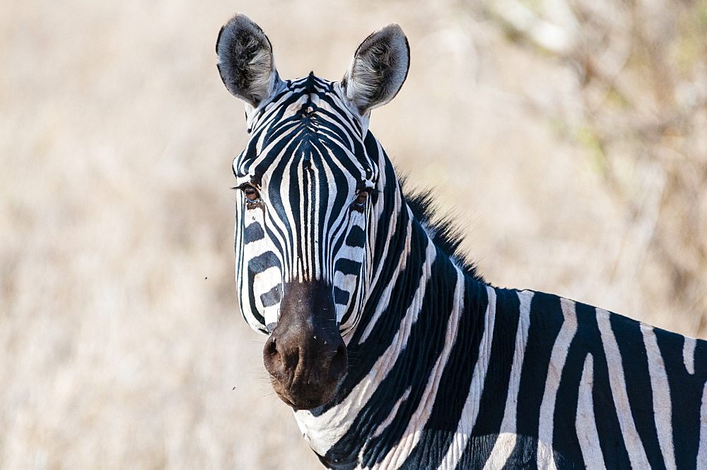 Plains zebra (Equus quagga), Taita Hills Wildlife Sanctuary, Kenya, East Africa