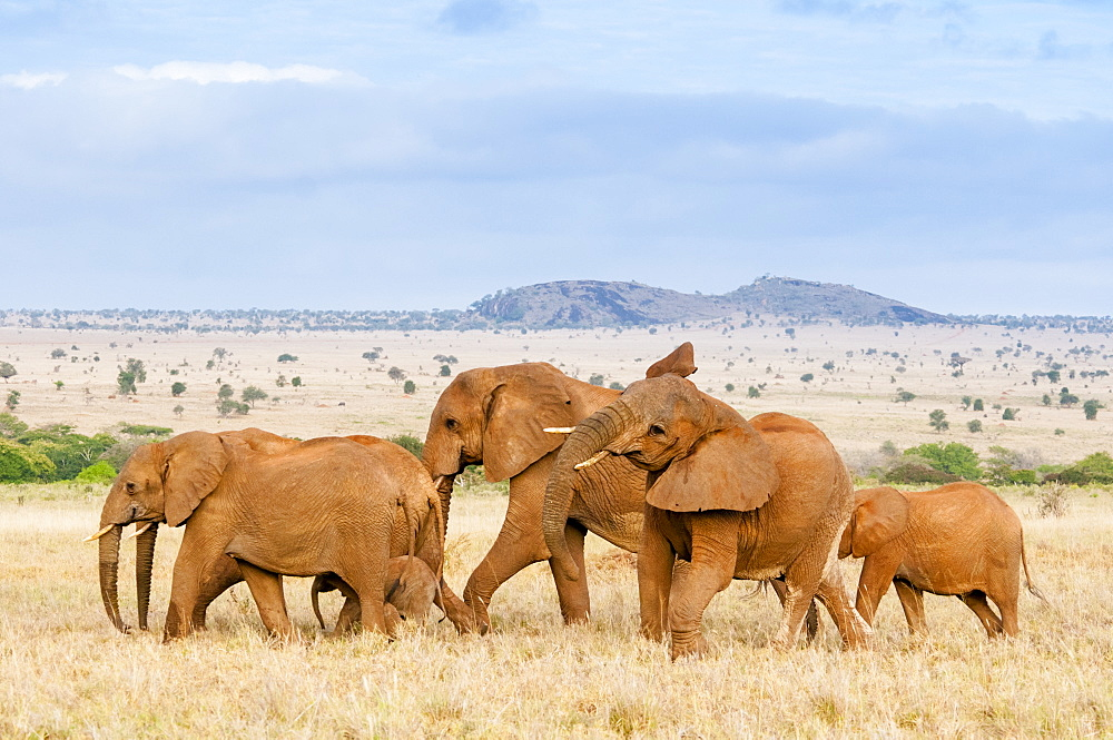Herd of Elephants (Loxodonta africana), Taita Hills Wildlife Sanctuary, Kenya, East Africa