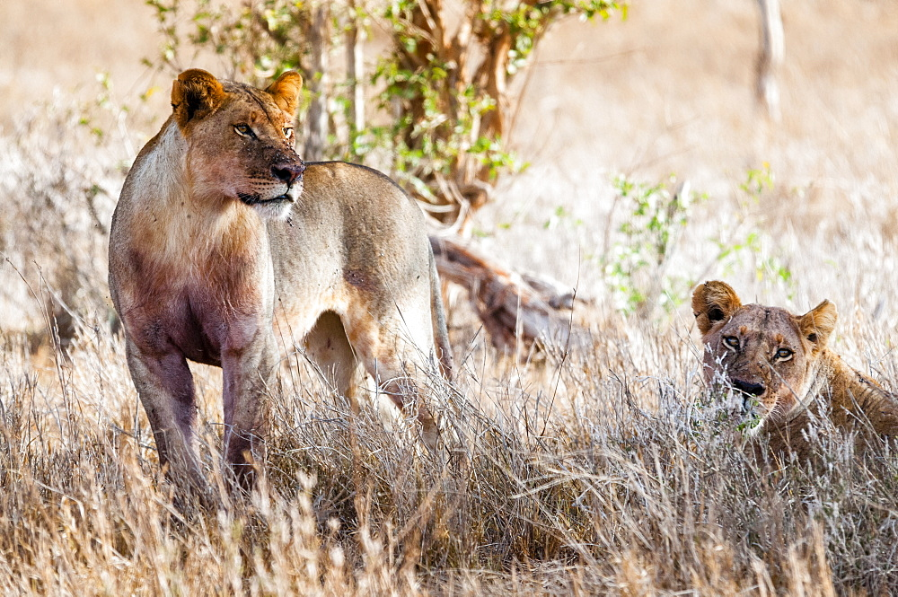 Young lions (Panthera leo) in the bush, Taita Hills Wildlife Sanctuary, Kenya, East Africa
