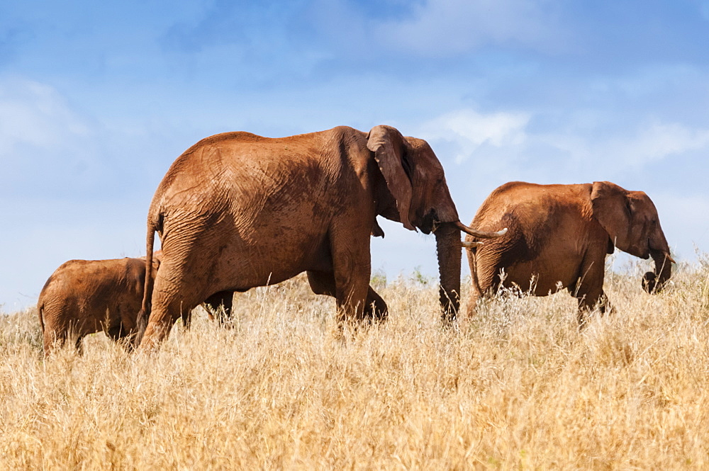 Herd of Elephants (Loxodonta africana), Taita Hills Wildlife Sanctuary, Kenya, East Africa, Africa - 765-2220