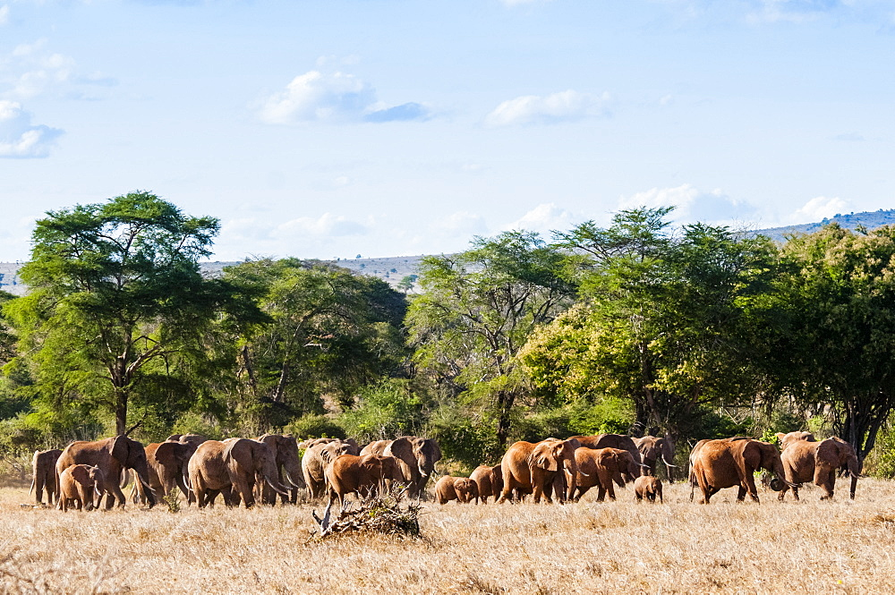Herd of Elephants (Loxodonta africana), Taita Hills Wildlife Sanctuary, Kenya, East Africa, Africa - 765-2230