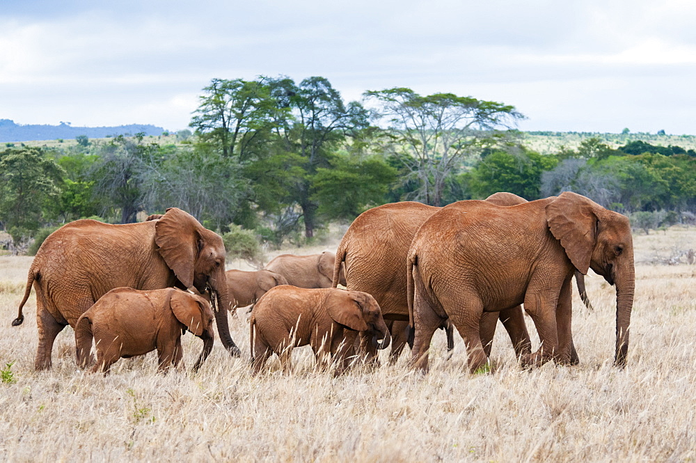 Herd of Elephants (Loxodonta africana), Taita Hills Wildlife Sanctuary, Kenya, East Africa, Africa - 765-2236