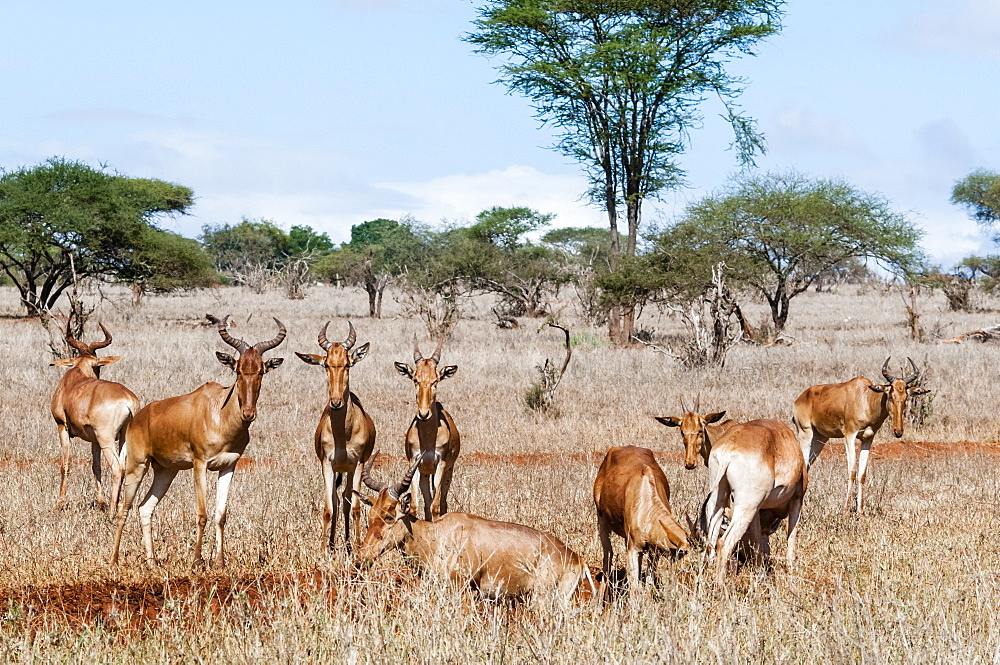 Herd of Hartebeests (Alcelaphus buselaphus),Taita Hills Wildlife Sanctuary, Kenya, East Africa