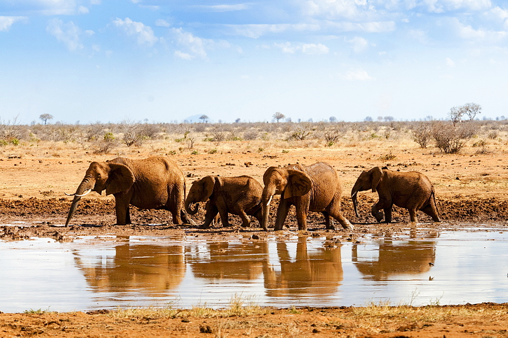 Elephants (Loxodonta africana) at waterhole, Tsavo East National Park, Kenya, East Africa