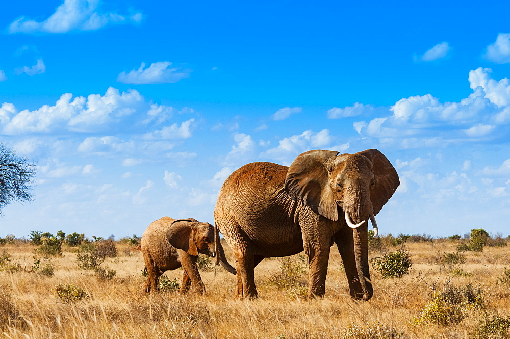 Female Elephant and calf 2 y.o. (Loxodonta africana), Tsavo East National Park, Kenya, East Africa