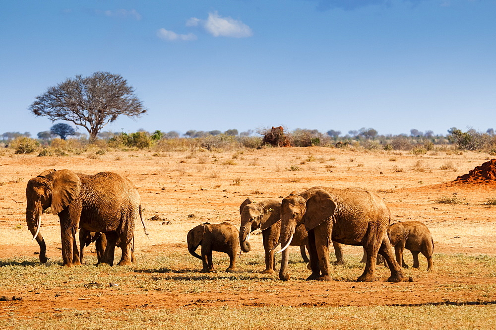 Elephants parade (Loxodonta africana), Tsavo East National Park, Kenya, East Africa