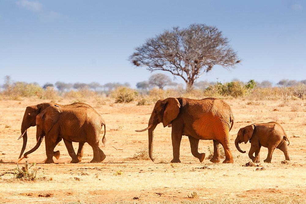 Elephants (Loxodonta africana), Tsavo East National Park, Kenya, East Africa