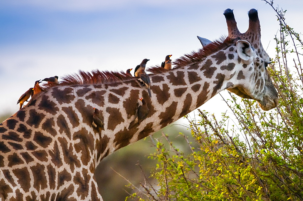 Male Maasai giraffe (Giraffa tippelskirchi), Oxpeckers (Buphagus erythrorhynchus) on his neck,Tsavo East National Park, Kenya