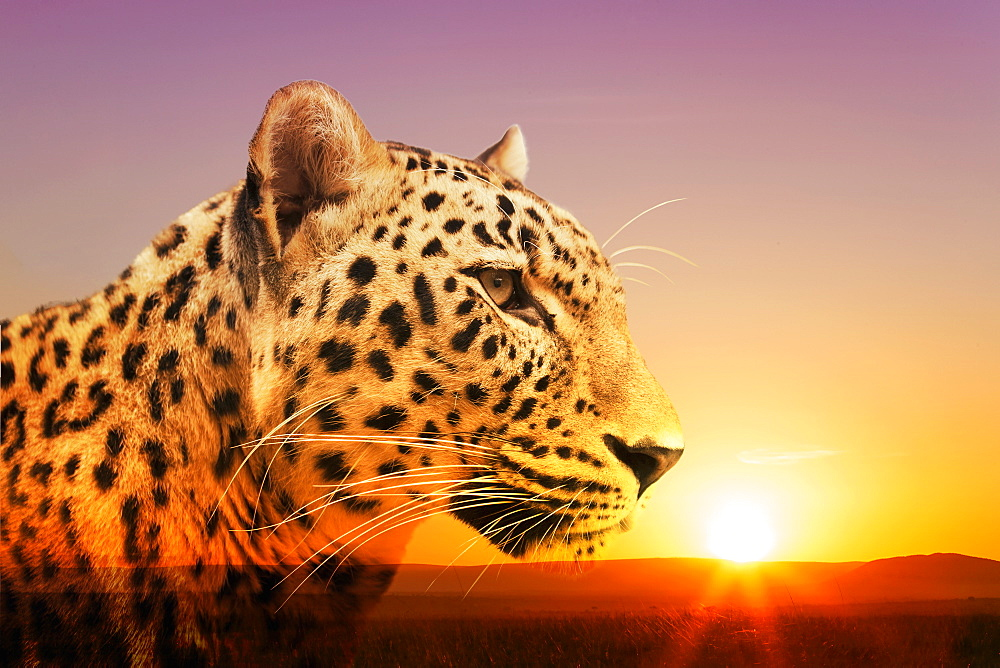 Cheetah, Masai Mara, Kenya, East Africa, Africa