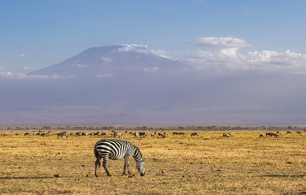 Zebra and Mount Kilimanjaro in Amboseli National Park, Kenya, East Africa, Africa