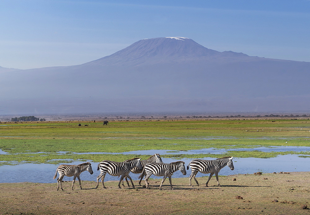 Zebras under Mount Kilimanjaro in Amboseli National Park, Kenya, East Africa, Africa - 772-3742
