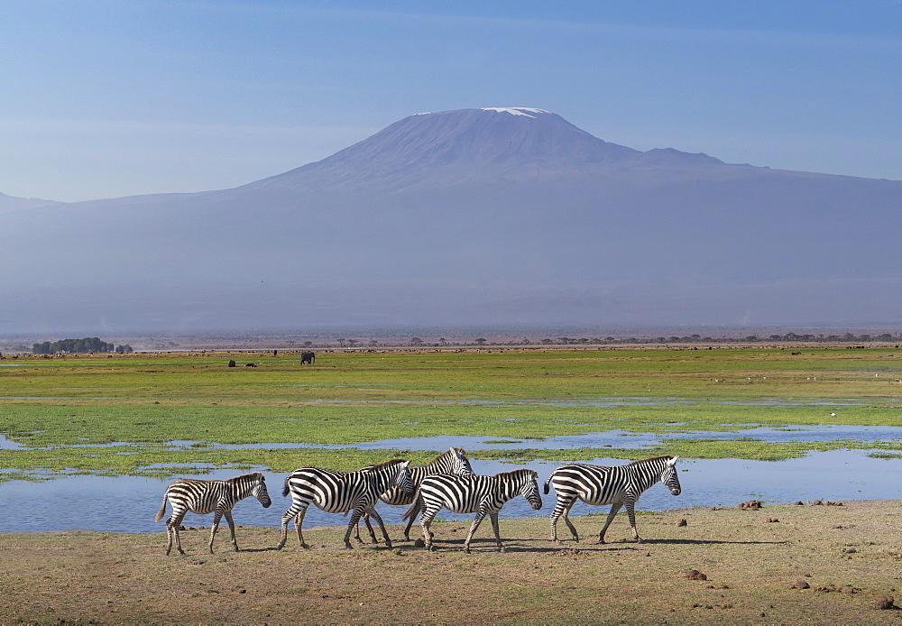 Zebras under Mount Kilimanjaro in Amboseli National Park, Kenya, East Africa, Africa