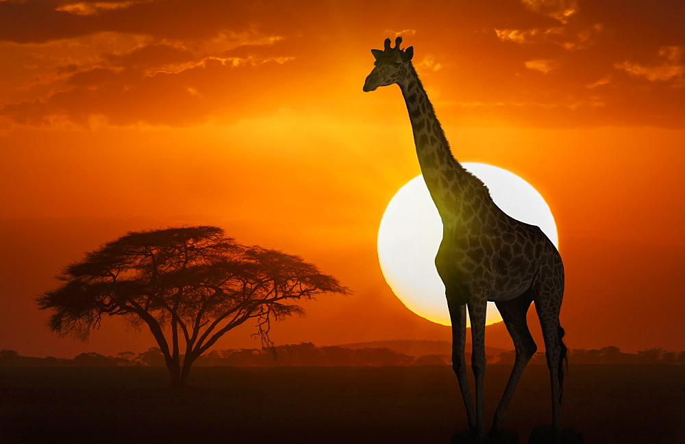 Giraffe at sunset in Amboseli National Park, Kenya, East Africa, Africa