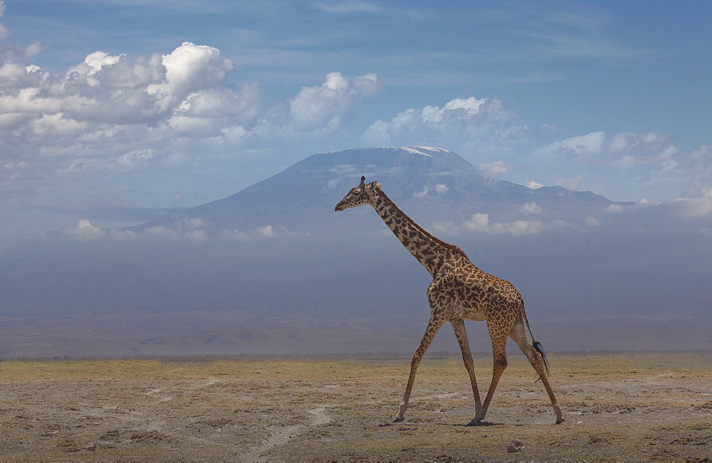 Giraffe under Mount Kilimanjaro in Amboseli National Park, Kenya, East Africa, Africa - 772-3745