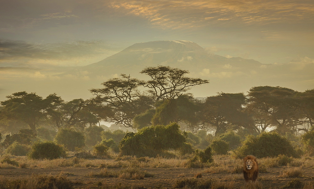 Lion under Mount Kilimanjaro in Amboseli National Park, Kenya, East Africa, Africa