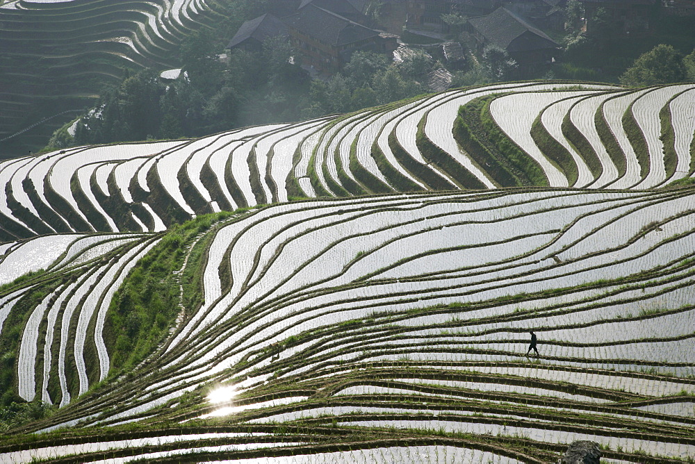 Chinese farmer in ricefield in June, Longsheng terraced ricefields, Guangxi Province, China, Asia